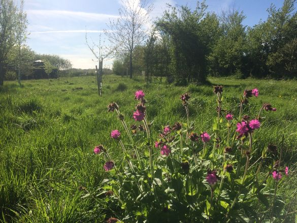 Pink Campion at Westmill