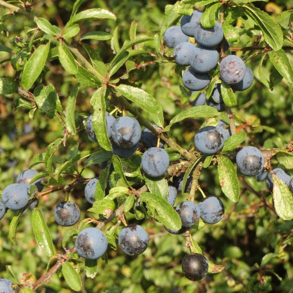 Sloes at Westmill